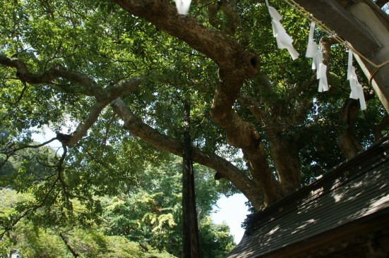 9 御霊神社のタブノキ.jpg
